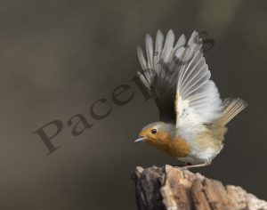 Robin_Take_Off