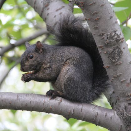 black-squirrel-1336072-1599x1066